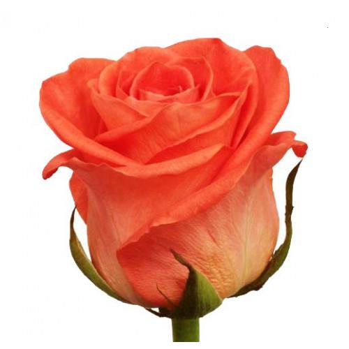 Роза-Вау